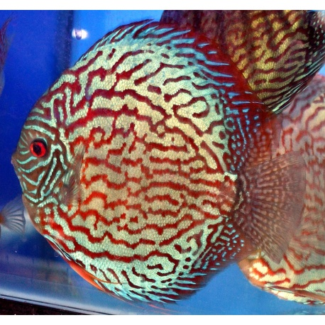 Discus checkerboard 6 7 cm dm farm for Vendita discus online
