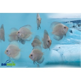 Discus Blue Arctic 5-6 cm