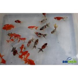 Fantail assorti 6-7 cm