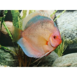 Discus black angel 5 6 cm dm farm for Vendita discus online