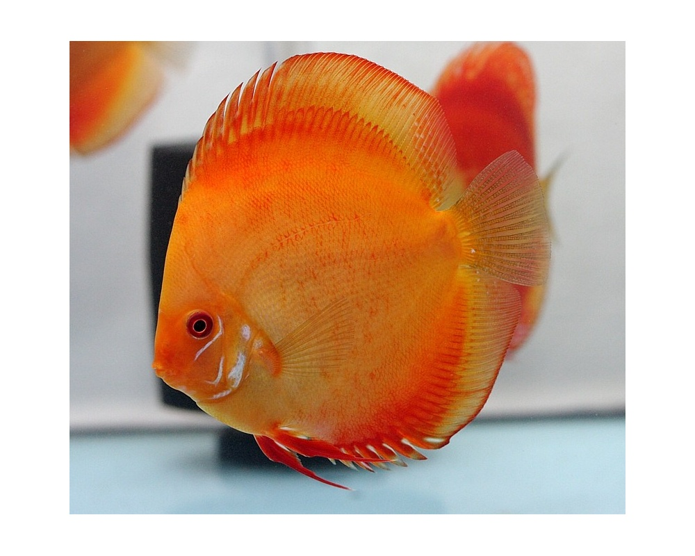 Discus red marlboro 8 9 cm dm farm for Vendita discus online