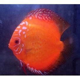 Discus Red Marlboro 8-9 cm
