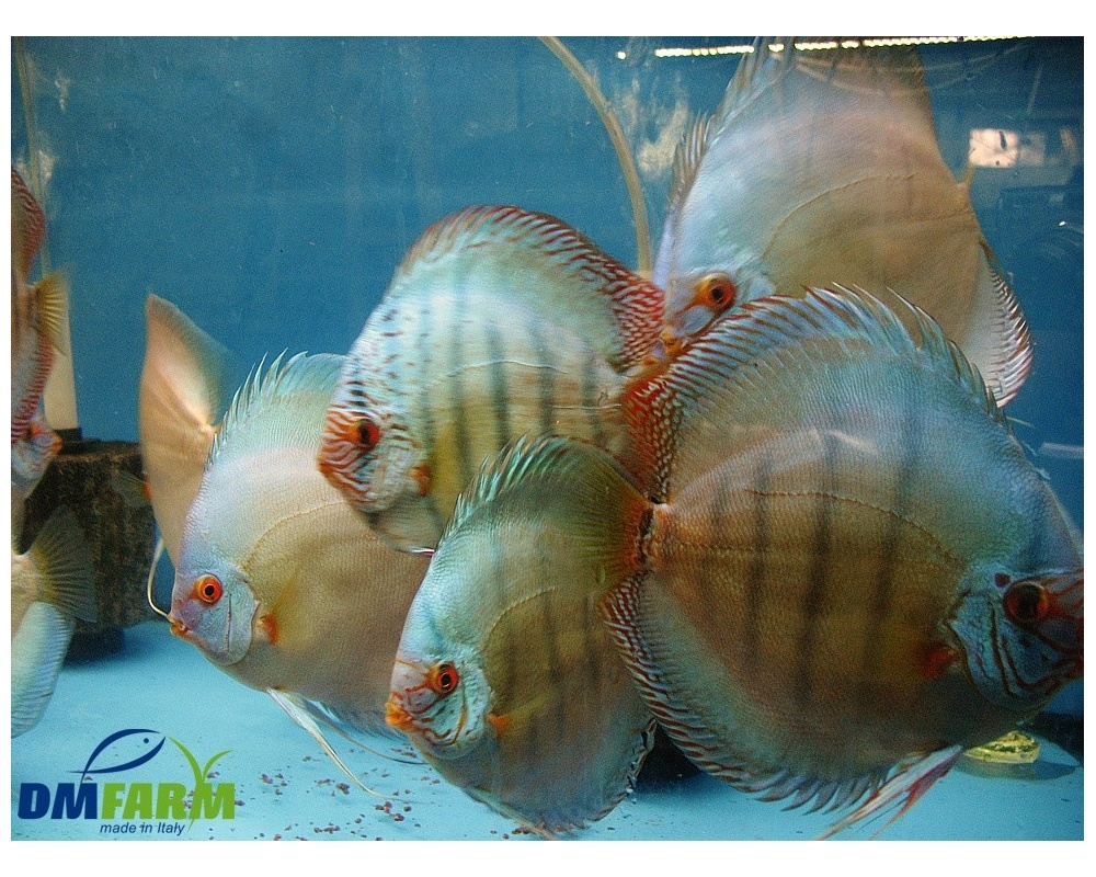 Discus cobalt 10 cm dm farm for Vendita discus online