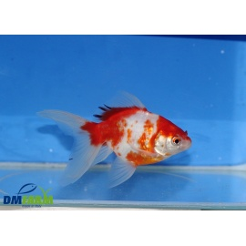 Fantail White & Red  11-13 cm