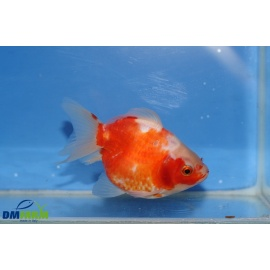 Fantail shot boby White & Red 10-12 cm