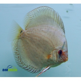 Fantail assorti 6 7 cm dm farm for Vendita discus online