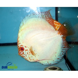 Discus Butterfly 8-9 cm