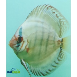 Discus Brillant Solid Blu/Green 6-7 cm