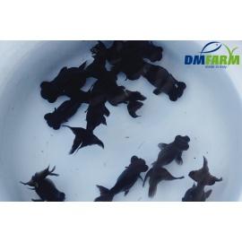 Black Moor 8-10 cm