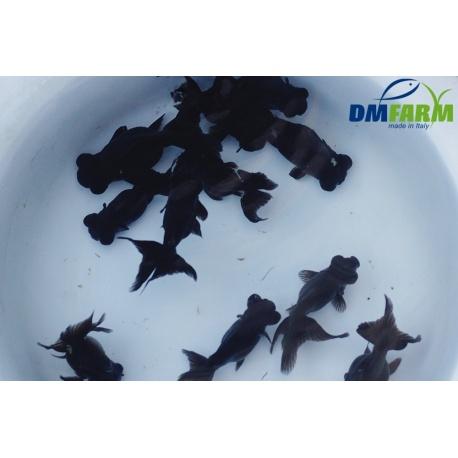 Black Moor 5-6 cm