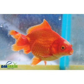 Fantail Red Short Tail 10-12 cm