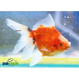 Fantail Red Sakura Calico Light  13-15 cm