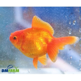 Fantail Red Gold Short Boby 10-12 cm