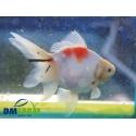 Fantail White Calico Light 13-15 cm