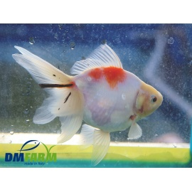 Fantail White Calico Light 14-16 cm