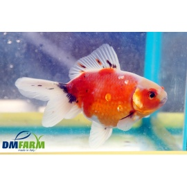Fantail Red Sakura Calico Light  11-13 cm