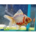 Fantail White & Red  12-14 cm