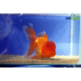 Oranda Testa di Leone Red Gold 13-15 cm