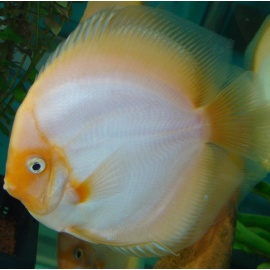 Discus Snow White