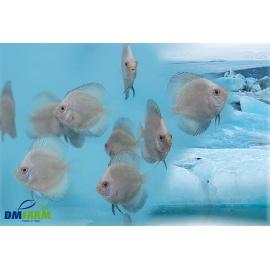 Discus Blue Arctic 6-7 cm