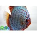 Discus Turchese 6-7 cm