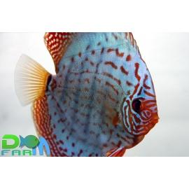 Discus Turchese 10 cm