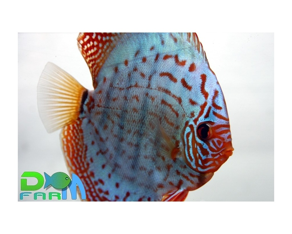Discus turchese 10 cm dm farm for Vendita discus online