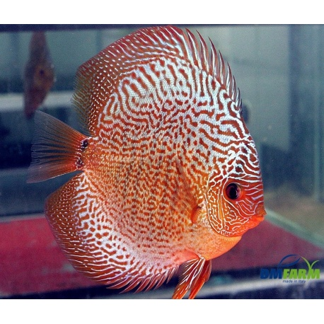 Discus snakeskin red 6 7 cm dm farm for Vendita discus online