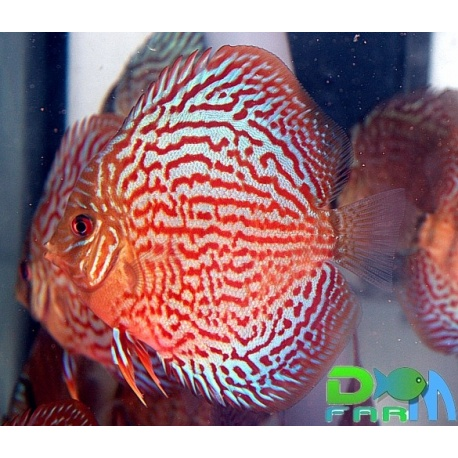 Discus oriental rt 5 6 cm dm farm for Vendita discus online