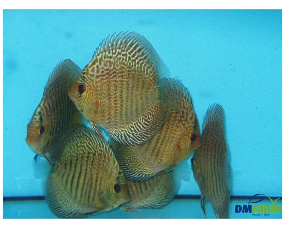 Discus blu snakeskin 5 6 cm dm farm for Vendita discus online