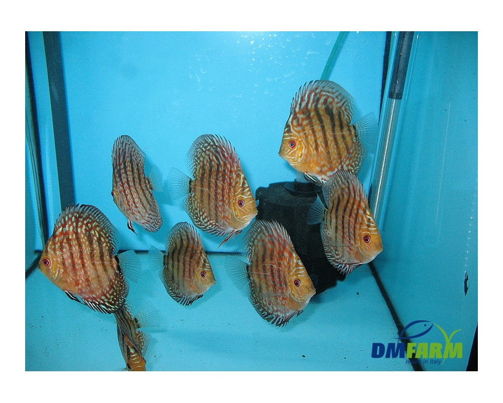 Discus indios 6 7 cm dm farm for Vendita discus online