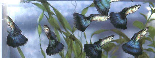 Guppy show for Vendita online pesci acqua fredda