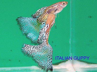 Guppy for Vendita online pesci acqua fredda