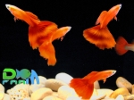 Full Red Blond - guppy show